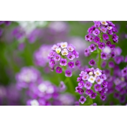 Lily-violet alyssum manis, Sweet alison - 1750 biji - Lobularia maritima. - benih