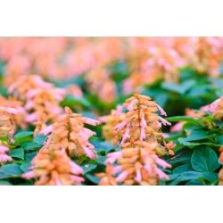 Tropical sage - pink-orange variety - 84 seeds