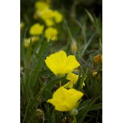 Yellow Bigfruit evening primrose, Ozark sundrop, Missouri evening primrose - 6 seeds