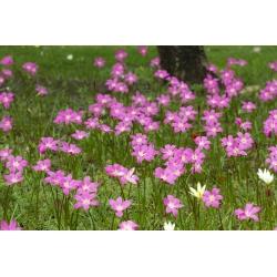 Zephyranthes Rosea, Cuba zephyrlily, Rosy Rain Lily - 10 củ - Zephyrantes rosea