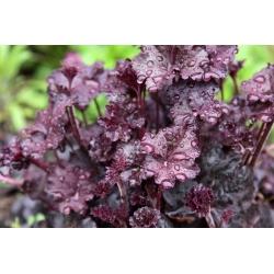 Heuchera, Alumroot Purple Palace - củ / củ / rễ - Heuchera diversifolia