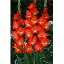 גלדיולוס ניקיטה - 5 בצל - Gladiolus
