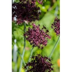 Allium Atropurpureum - 5 bebawang