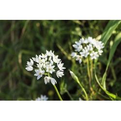 Allium Cowanii - 20 bebawang