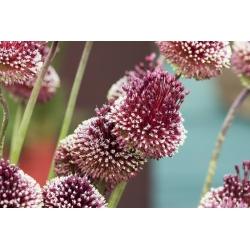 Allium Red Mohican - bebawang / umbi / akar