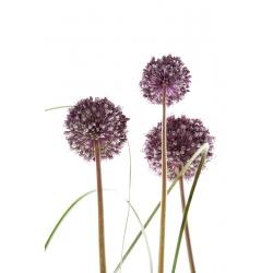 Dekoratiivne küüslauk - Summer Drummer - Allium Summer Drummer