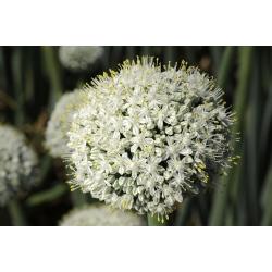 Allium White Giant - žiarovka / hľuza / koreň