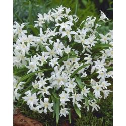 Chionodoxa Luciliae Alba - Glory of Snow Luciliae Alba - 10 bulbs