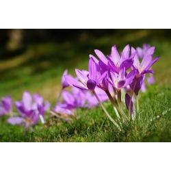 Kikerics - Violet Queen - Colchicum