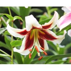 Pohon Lily Lilium Beverly Dreams - umbi / umbi / akar