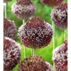 Allium Forelock - bebawang / umbi / akar