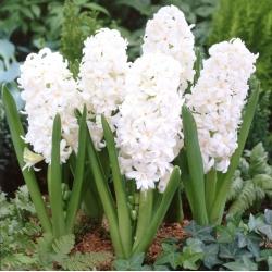 Hyacinthus Double Snow Crystal - Hyacinth Double Snow Crystal - 3 bulbs
