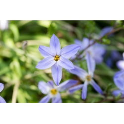 Ipheion Uniflorum - Hoa sao xuân Uniflorum - 11 củ