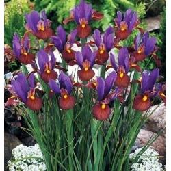 Nőszirom (Iris × hollandica) - Eye of the Tiger - csomag 10 darab