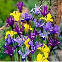 Iris Botanical - Mix - pakend 10 tk