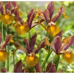Ирис (Iris × hollandica) - Lion King - пакет из 10 штук