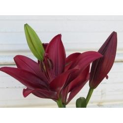 ليلى ، زنبق مابيرا - بصيلة / درنة / جذر - Lilium Mapira