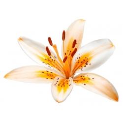 Lilium ، زنبق برتقالي كهربائي - بصيلة / درنة / جذر - Lilium Orange Electric