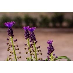 Muscari Comosum - Grape Hyacinth Comosum - 5 bulbs