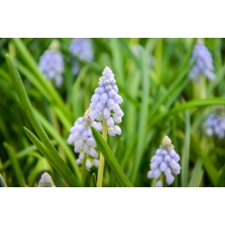 Muscari Ester - Grape Hyacinth Ester - 10 bulbs