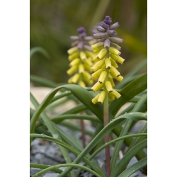 Muscari Golden Fragrance - Grape Hyacinth Golden Fragrance - 3 bulbs