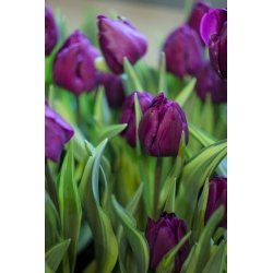 Tulipa Baby Blue - paquete de 5 piezas
