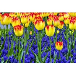 Tulipa Cape Town - paquete de 5 piezas