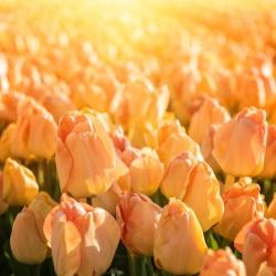Тюльпан Daydream - пакет из 5 штук - Tulipa Daydream