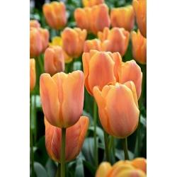 Tulipa Daydream - Tulip Daydream - 5 bulbs