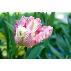 Тюльпан Elsenburg - пакет из 5 штук - Tulipa Elsenburg