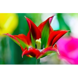 Tulipa Eye Catcher - paquete de 5 piezas