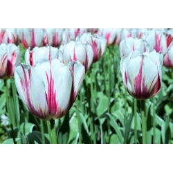 Тюльпан Flaming Flag - пакет из 5 штук - Tulipa Flaming Flag