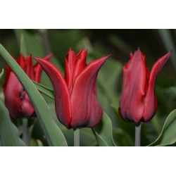 Tulipa Lasting Love - Tulip Lasting Love - 5 lampu