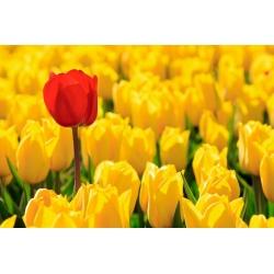 Tulipa Mini Star - paquete de 5 piezas