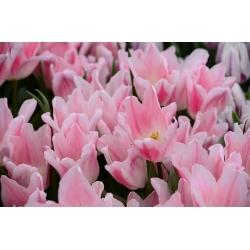 Тюльпан Miss Elegance - пакет из 5 штук - Tulipa Miss Elegance