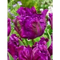 Тюльпан Negrita Parrot - пакет из 5 штук - Tulipa Negrita Parrot