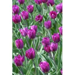 Тюльпан Negrita - пакет из 5 штук - Tulipa Negrita