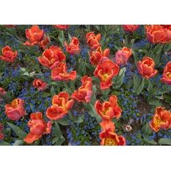 Тюльпан Prinses Irene Parrot - пакет из 5 штук - Tulipa Prinses Irene Parrot