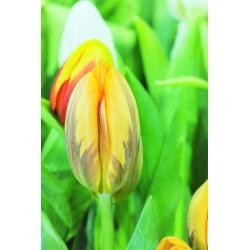 Tulipa Ravana - Tulip Ravana - 5 bulbs