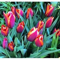 Tulipa Slawa - paquete de 5 piezas