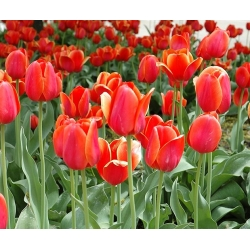 Tulipa Temple of Beauty - paquete de 5 piezas