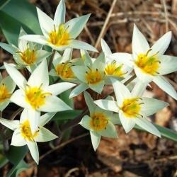 Tulp Turkestanica - pakend 5 tk - Tulipa Turkestanica