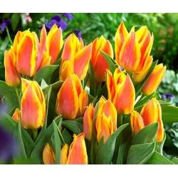 Tulipa Winnipeg - paquete de 5 piezas
