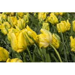 Тюльпан Golden Glasnost - пакет из 5 штук - Tulipa Golden Glasnost