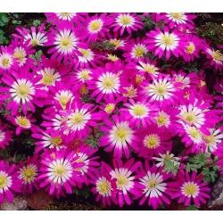 Anemone Pink Star - 8 becuri - Anemone blanda