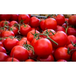 """Tomato """"Alka"""" - directly sown field variety - COATED SEEDS - 100 seeds"""