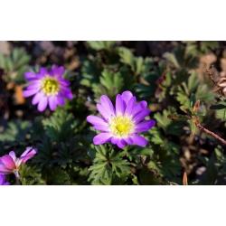 Anemone Charmer - 8 becuri - Anemone blanda