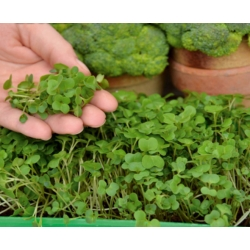 Microgreens - Broccoli - young leaves with an unique taste - 900 seeds