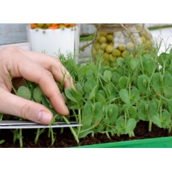 """Microgreens - Pea """"Boogie"""" - young leaves with exceptional taste"""