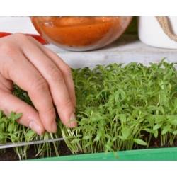 Microgreen - ketumbar - daun muda dengan rasa yang luar biasa; cilantro, pasli Cina - 400 biji - Coriandrum sativum - benih